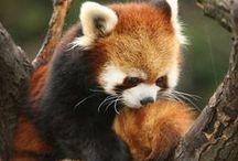 red panda!!!!