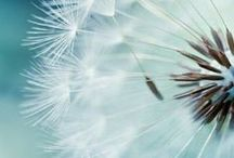 Dandelions / Some see weed I see wishes...