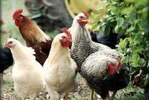 kippen / mooie en leuke kippen