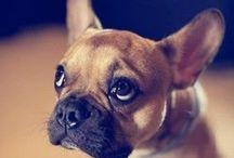 French Bulldog + Pug ❤