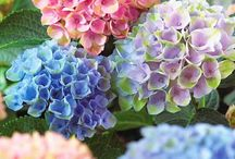 Flowers / Colourful, sweet smelling and beautiful flowers