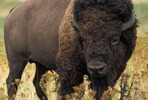 Buffaloes /