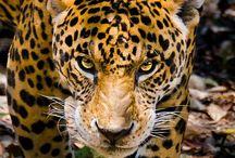 JaguarS  TigerS  LionS
