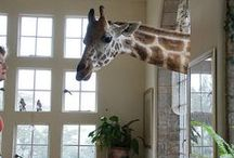 giraffe Manor ... / Kenya, Nairobi ... the only Hotel in the world where you can eat breakfast with giraffe ....