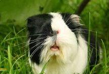 Wutz doc / Meerschweinchen, guinea pig