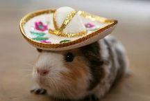 Guinea piggie