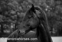 Menorquin stallions