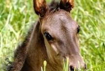Menorquin foals