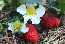 Vegetable Garden (and Fruit!) / Everything to do with growing your own fruit and vegetables!