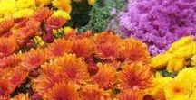 Autumn/Fall Garden / Autumn Garden Tips / Fall Garden Tips  What to grow in the garden during Fall / Autumn Autumn / Fall Garden Jobs