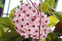 """.HOYA / The Hoya plant is my favorite plant. I had one given to me 30 plus years ago that was in a 2"""" pot and had 3 leaves to it. 2 of them were dead. I took it in my house in CA at that time and simply set it in a well lite window and watered it not even knowing what a Hoya was. It grew... and it grew.... that's when I found out it was a vine. I eventually took a wire coat hanger and made a circle and put it in the pot. It made a wreath and then bloomed. It fragranced my whole house. I WAS HOOKED ~~ / by Green Thumbelina"""