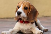 Beagle Pics / No bones about it...these Beagle pics are cute! Considered one of the most lovable breeds out there, the pictures of Beagle on this page will make you want two or three of your own....if you don't already own two or three already. / by Fun Dog Pics