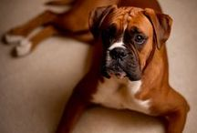 Boxer Pictures / The Boxer pictures on this page are perfect if you're considering acquiring one or already own one of these popular dogs. You'll find full grown dogs as well as Boxer puppy pictures on this page as well. / by Fun Dog Pics