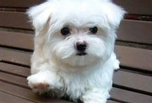 Pictures Of Maltese / These pictures of Maltese confirm that this is one cute breed. Of course owners don't need Maltese images to prove that, just look at the pictures below if in doubt.  / by Fun Dog Pics