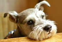 Miniature Schnauzer Pictures / You're gonna love these Miniature Schnauzer pictures if you own or love this breed. And who doesn't love them? We know we do!...that's why we dedicated this image page to full grown pups as well as cute Miniature Schnauzer puppy pictures. / by Fun Dog Pics