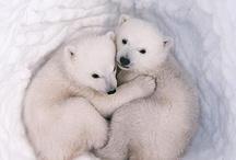 pole bears