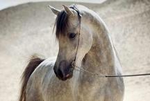 DAPPLES, GREYS + FLEABITTEN GREYS / beautiful dapple greys, fleabitten grey + grey horses