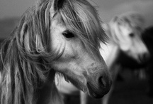 ICELANDIC HORSE / Iceland only has one breed of horse in the country, the Icelandic Horse, and once an Icelandic horse leaves Iceland it can never go back.