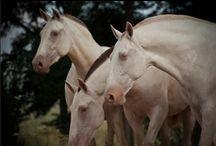 PERLINO, CREMELLO, CHAMPAGNE + ALBINO / albino, perlino, cremello + champagne horses