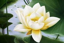 Water Lilies / Beautiful flowers, growing in water