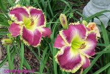 DAYLILIES II / Collection of beautiful daylilies. / by virginiarose