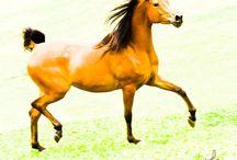 Cavalos Brasileiros / Esta é minha forma de ver os cavalos Árabes, Mangalargas e Marchadores no Brasil. São fotos que procuram mostrar as características principais desses animais, seja no que se refere a sua expressão, conformação ou dinâmica. Não existem aqui retoques que alterem o fenotipo de qualquer animal.