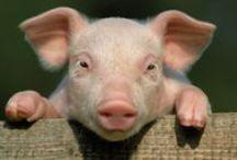 ANIMAL • Pig