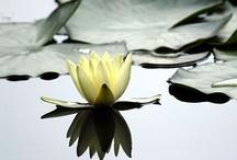Water Lilies & Lotus Flowers / water lilies and lotus flowers:)