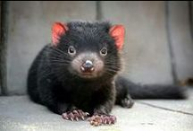 Tasmanian Devil / Tasmanian Devils are an iconic Australian animal on the brink of extinction. If you want to find out more about the species and why they need to be saved, please visit www.tassiedevil.com.au. (If you'd like to add pins to this group board just follow us and then send us a message and we'll add you).