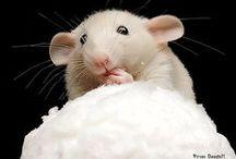 Rats ♥ / Rats♥Ratten♥Patkány♥