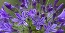 Agapanthus (Nile Lily) / Different varieties of fresh cut Agapanthus specifically grown for the wholesale flower trade.