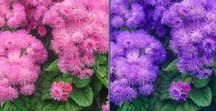 Ageratum (Floss Flower)} / Different varieties of fresh cut Ageratum specifically grown for the wholesale flower trade.