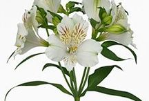 Alstroemeria / Different varieties of fresh cut Alstroemeria specifically grown for the wholesale flower trade. Also known as Peruvian Lilies