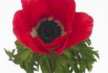 Anemones / Different varieties of fresh cut Anemones specifically grown for the wholesale flower trade. Also known as Wind Flowers.   Anemones are seasonal and are usually available between November and April.