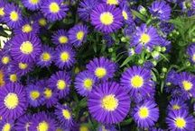 Aster / Different varieties of fresh cut Aster specifically grown for the wholesale flower trade. Also known as September Flower.