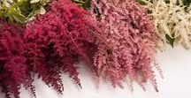 Astilbe / Different varieties of fresh cut Astilbe specifically grown for the wholesale flower trade. Also known as False Goats Beard.