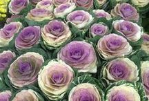 Brassica / Different varieties of fresh cut Brassica (Ornamental Cabbages) specifically grown for the wholesale flower trade.