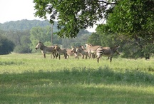 Take the 9.5 mile scenic drive through ~1800 acres / by Fossil Rim Wildlife Center