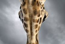 Giraffe / Giraffe, the tallest living land mammal.  / by Fossil Rim Wildlife Center