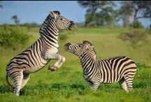 Zebra and other Equids / Grevy Zebra, Hartsmann's Mountain Zebra, Przewalski's Horse / by Fossil Rim Wildlife Center