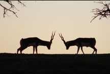 Antelope and Deer / Antelope and Deer / by Fossil Rim Wildlife Center