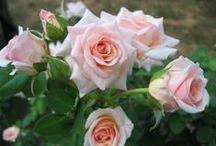 Tanaman Hias / http://pesonataman.com merupakan blog panduan tanaman dan kebun bagi anda pencinta flora