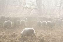 Wool and sheep