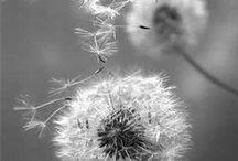 Flores de vento - Dentes de leão / Saudade tem cheiro, tem cor, tem forma - de flores de vento que também se desfazem cedo ou tarde...