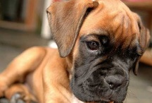 ✯My Love 4 Boxers✯ / Life is better with a boxer! / by ~Ꮶrιѕтa Ꭶυndѕтroм~