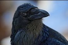 Corvids  / The art and nature, science and folklore of these highly intelligent birds--crows, ravens, jays and magpies / by Susan Blake