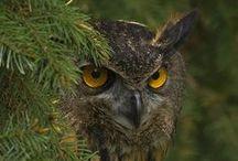 owls / совы, природа, птицы