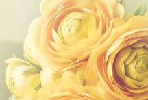 ✿ F l e u r ✿ R a n u n c u l u s ✿ / Ranunculus - is a large genus of about 600 species of plants in the Ranunculaceae.