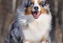 Autralian Cattle Dog, Australian Shepherd, AustralianTerrier.