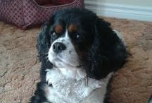 Darcy (Cavalier King Charles)